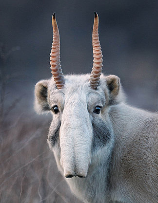 Saiga Antelope with proboscis nose